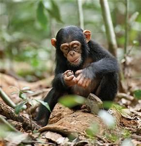 Was Essen Ameisen : scinexx n sse knacken und ameisen angeln schimpansen ~ Lizthompson.info Haus und Dekorationen