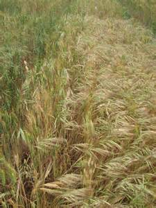 Management of brome grass | Agriculture and Food