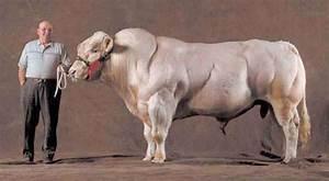 Super cows!