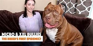 Xxl Bully   www.imgkid.com - The Image Kid Has It!