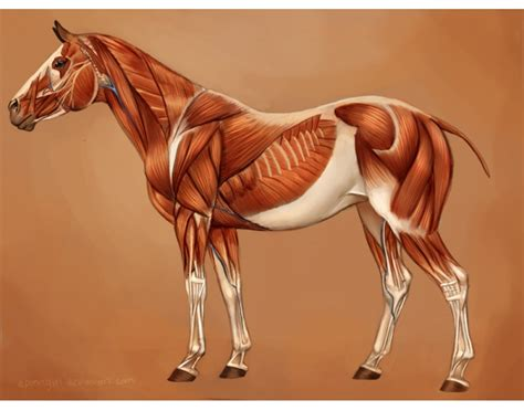 horse muscles anatomy muscle horses reference deviantart purposegames superficial equine musculature neck structure quiz system game abc biceps sculpture deviant