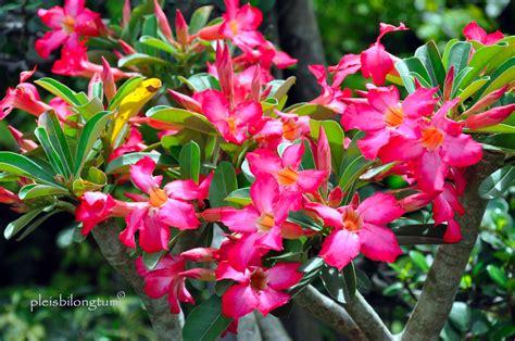 nama nama tanaman hias beserta nama latinnya gadis ilalang