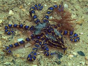 the venomous blue-ringed octopus | Ocean | Pinterest