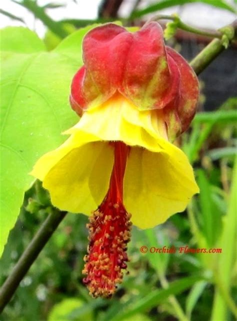 17 best images about abutilons on flower le veon bell and plants