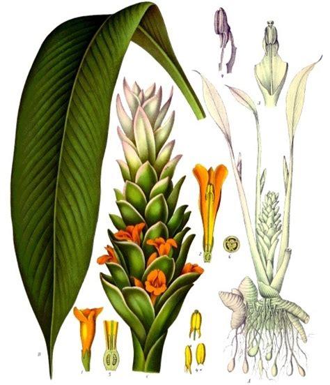 tumbuhan kunyit klasifikasi ciri ciri manfaat