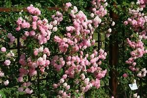 Rosier Grimpant Remontant : roses et rosiers de charme quelle classification et ~ Melissatoandfro.com Idées de Décoration