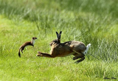 hare  stoat rien kors photographed  stoat attacking