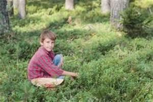 Wann Heidelbeeren Pflanzen : kulturheidelbeeren pflanzen ein kleiner pflanzratgeber ~ Orissabook.com Haus und Dekorationen