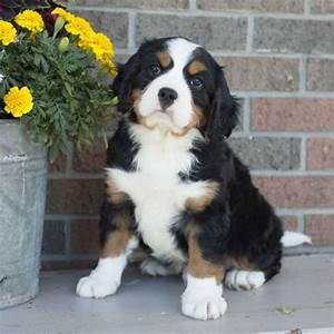 Miniature Bernese Mountain Dog Puppies for Sale ...