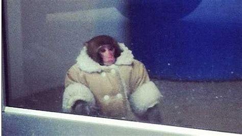Darwin The 'ikea Monkey' Sparks Frenzy