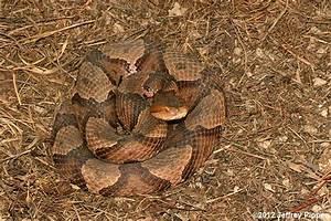 Copperhead  Agkistrodon Contortrix