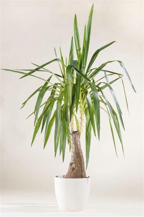 yucca palme ableger yucca palme yucca in sorten g 252 nstig kaufen
