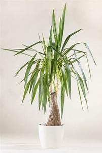 Yucca Palme Winterhart : yucca palme yucca in sorten g nstig online kaufen ~ Frokenaadalensverden.com Haus und Dekorationen