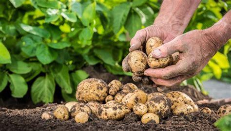 kartoffeln wann pflanzen kartoffeln pflanzen so wird es richtig gemacht