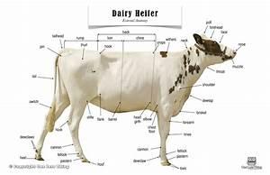 Dairy Heifer Anatomy  Poster
