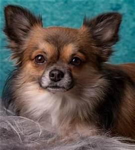 Do Short Hair Chihuahuas Shed Onvacations Wallpaper
