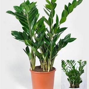 Magnolien Vermehren Durch Stecklinge : die 623 besten bilder zu zimmerpflanzen balkon ~ Lizthompson.info Haus und Dekorationen