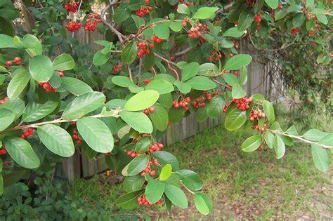ba82c berries on a european tree flowering this week in