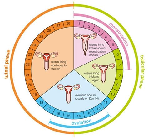 Menstrual Cycle A Comprehensive Review In The Simplest