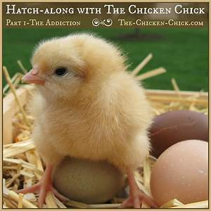The Chicken Chick®: Hatch-along with The Chicken Chick ...