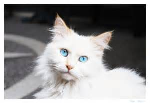 white cat with blue fluffy black kitten wallpaper quotes