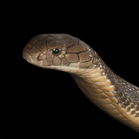 king cobra national geographic