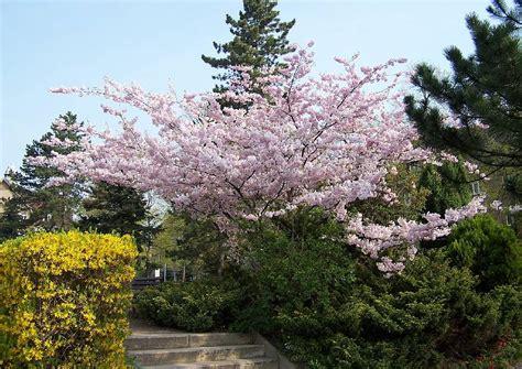 Kleine Bäume 09 Prunus Sargentii Bergkische