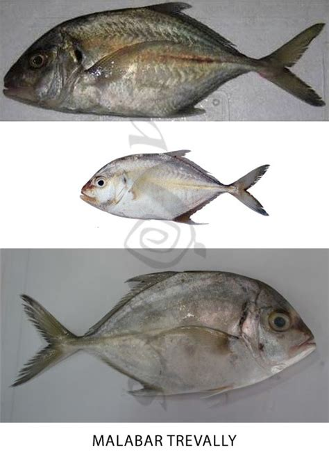 fish names  tamil  english  pictures