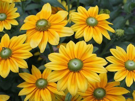rudbeckia hirta prairie sun yellow orange flowers