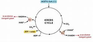 Krebs Cycle Diagram