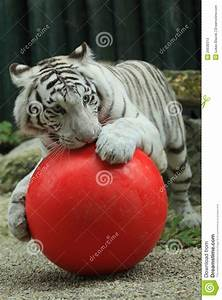White Tiger With Ball Stock Photos - Image: 26638313