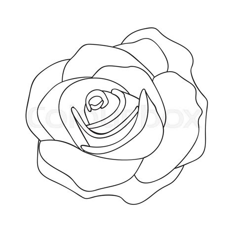 rose  drawing image vector stock vector colourbox