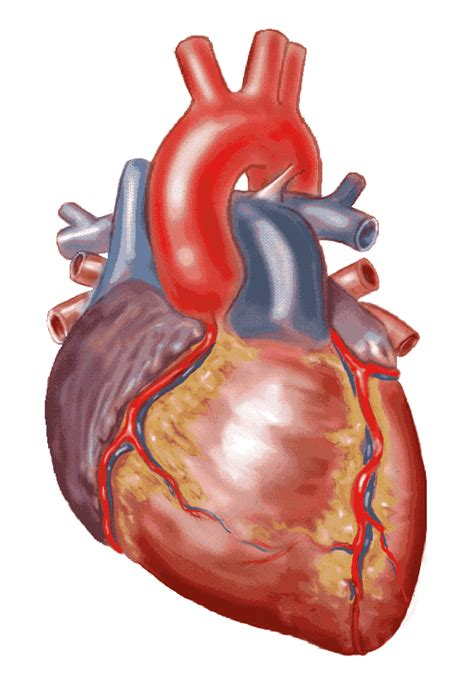 real heart clipart  clipartioncom