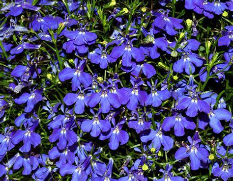 blue lobelia lobelia wikipedia