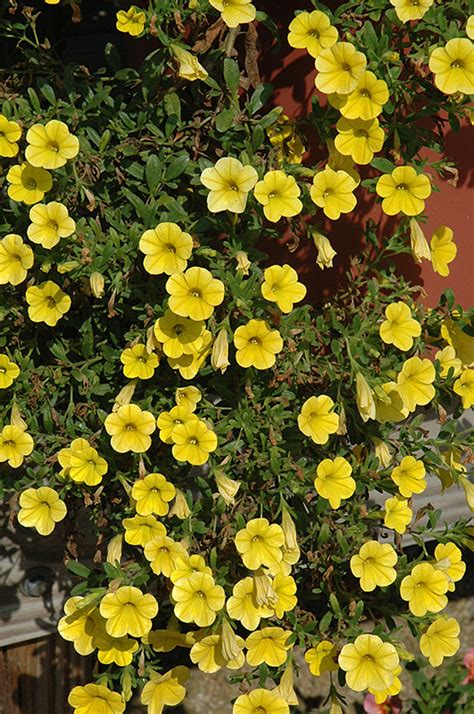 million bells neon yellow calibrachoa calibrachoa