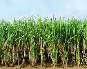 Sugar Cane - Worlds Biggest Source of Sugar | Information ...