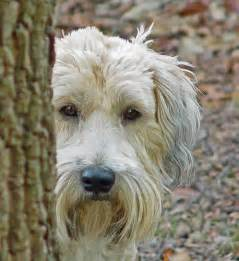 dogs that do not shed are these hypoallergenic dogs dog