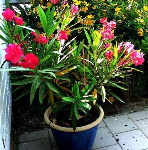 laurier en pot laurier en hiver jardinage forum vie pratique