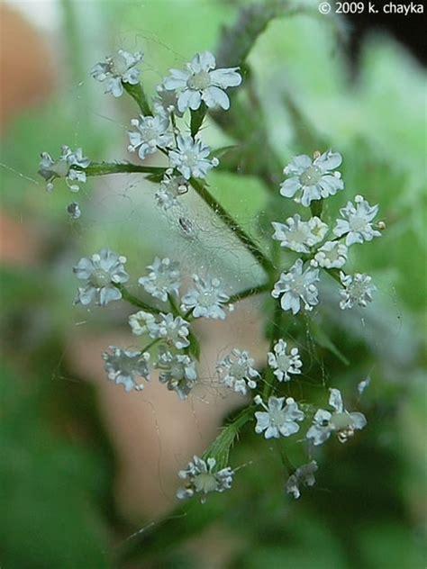 osmorhiza claytonii sweet cicely minnesota wildflowers