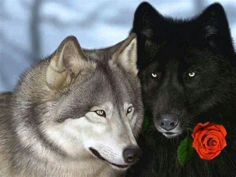 beautiful wolves pictures images  pinterest