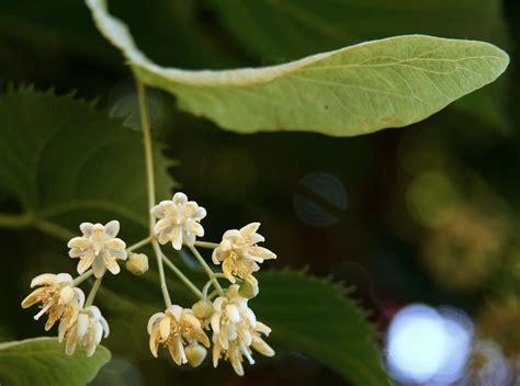 fiori molto profumati famiglia delle tiliaceae gruppi di cammino di bollate
