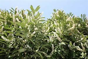 Wann Wird Lavendel Geschnitten : kirschlorbeer schneiden das sollten sie beachten ~ Lizthompson.info Haus und Dekorationen