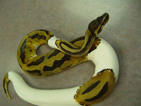 bedding for ball python mesmerizing ball python care sheet