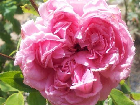 pink david roses pink david austin rose the green thumb for everyone pinterest