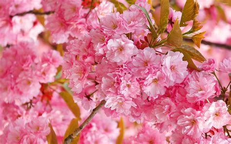 Cherry Blossom Image by Pink Cherry Blossom Wallpaper 62 Images