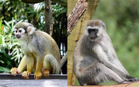 New World Vs Old World Monkeys  Monkey Facts And Information