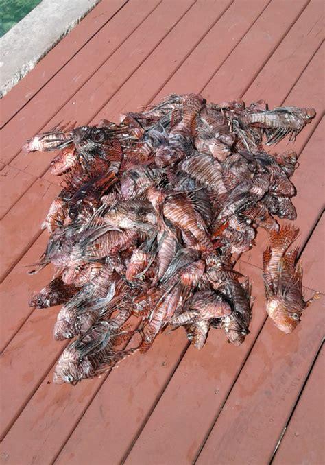 lionfish grouper eaten eat nassau