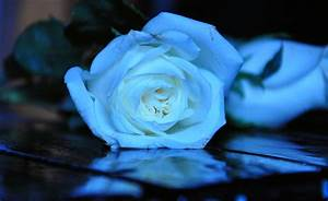 Mysterious Beauty of Blue Roses Black Background ...