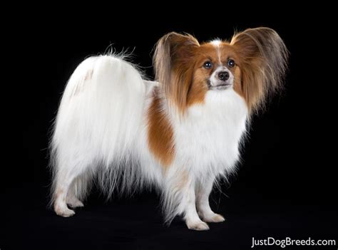 Dogs That Dont Shed Papillon by Papillon 87 Jpg Papillon Breeds