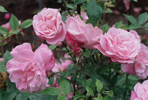 rosa  blush wikipedia